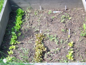 Lettuce Test Plot